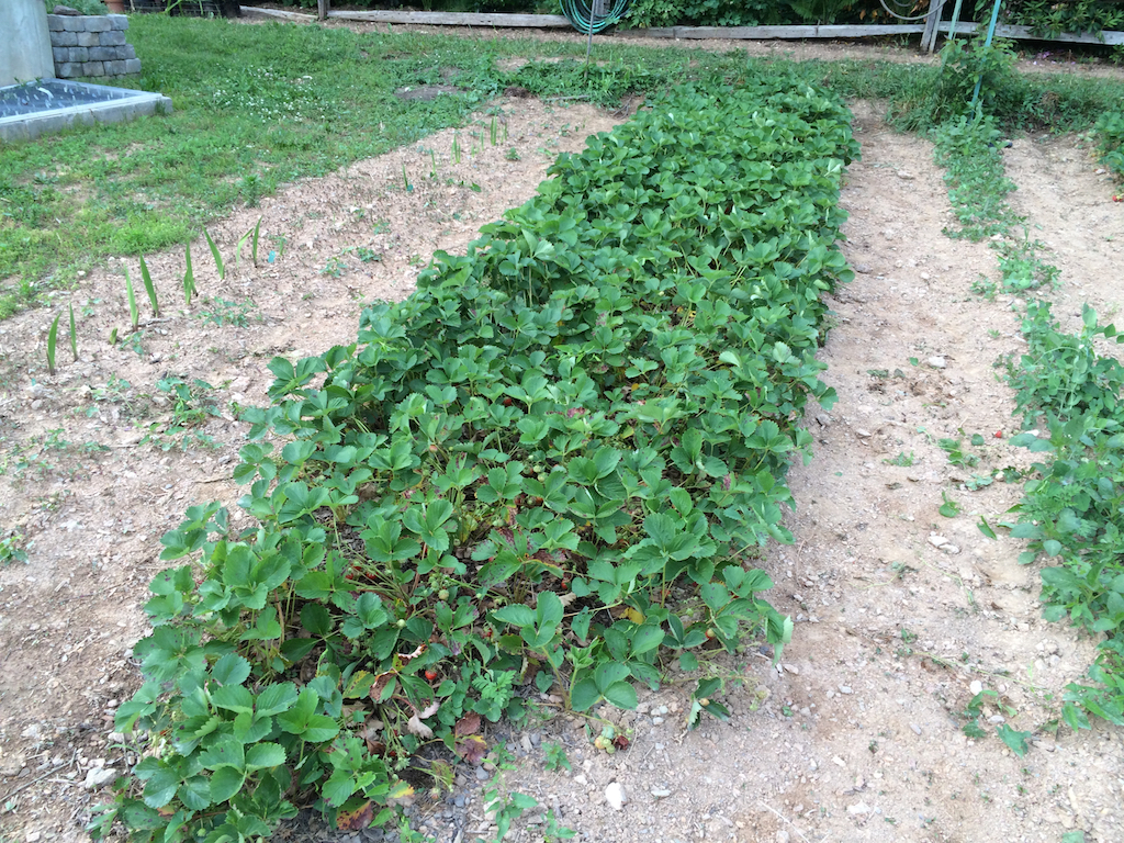 Double row of Jewel Strawberries