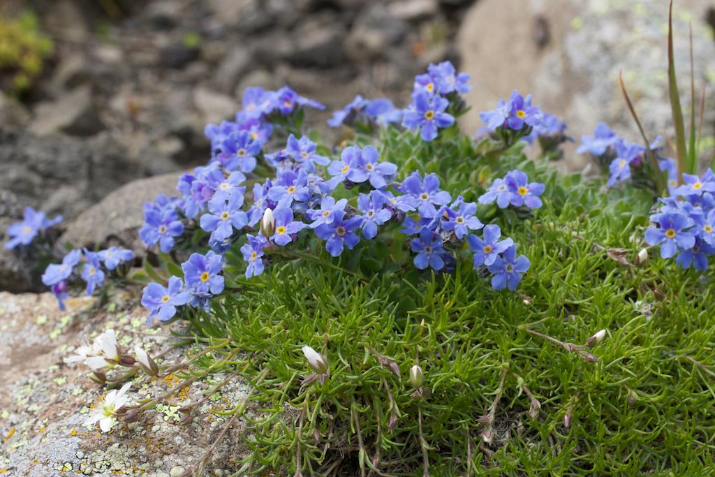 King of the Alps (Eritrichium nanum)