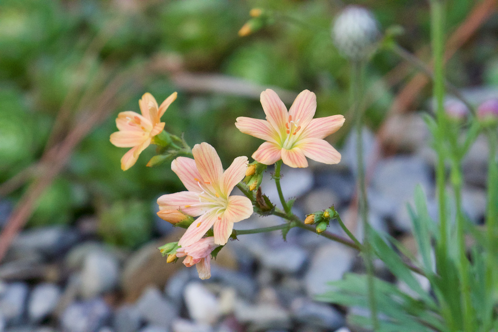 Lewisia longipetala 'Little Peach'