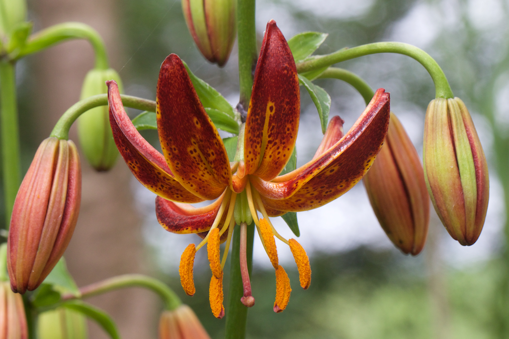 Martagon Lily 'Arabian Knight'