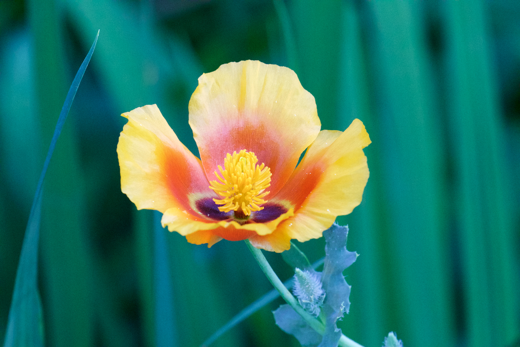 Orange Horned Poppy (Glaucium flavum var. aurantiacum)