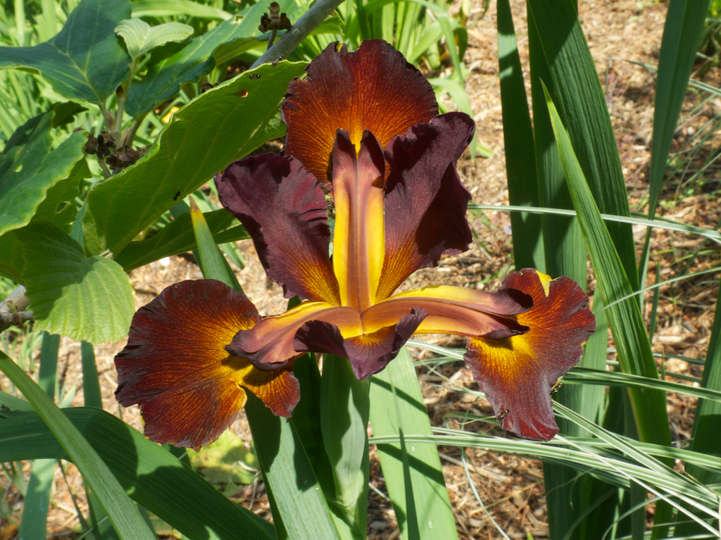 Spuria Iris 'Cinnebar Red'
