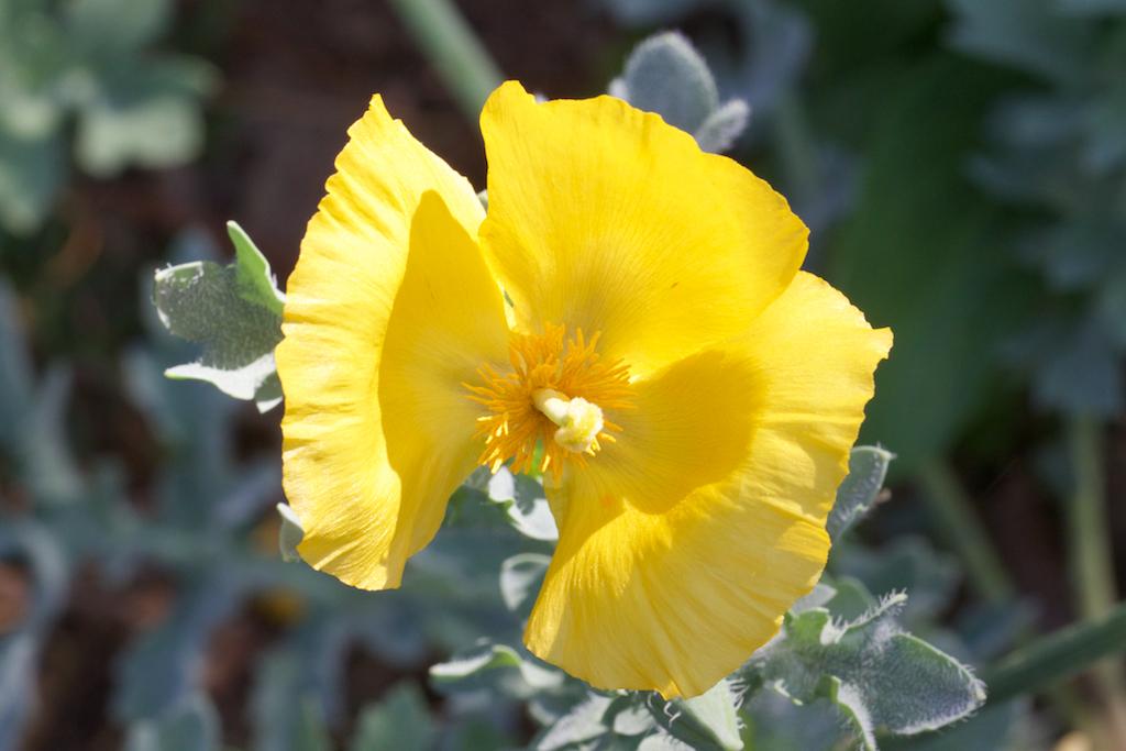 Yellow Horned Poppy (Glaucium flavum)