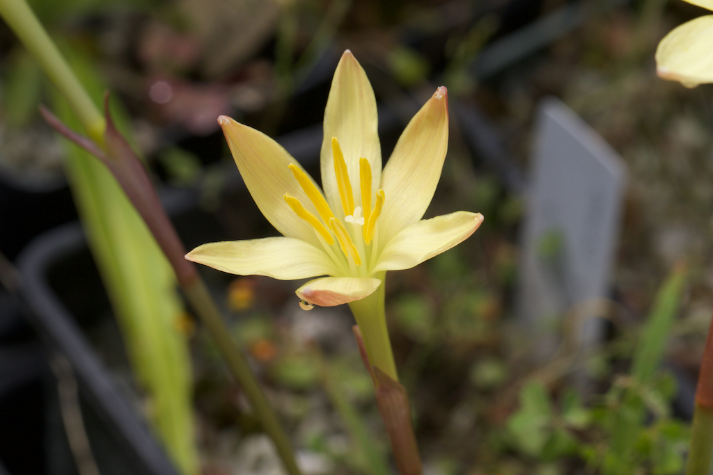 Zephyranthes dichromantha