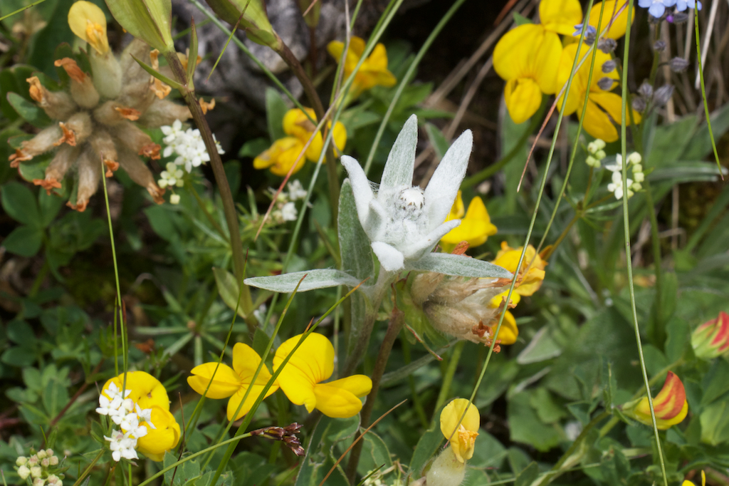 delweiss (Leontopodium alpinum) amid Bird's Foot Trefoil and other smaller flowers