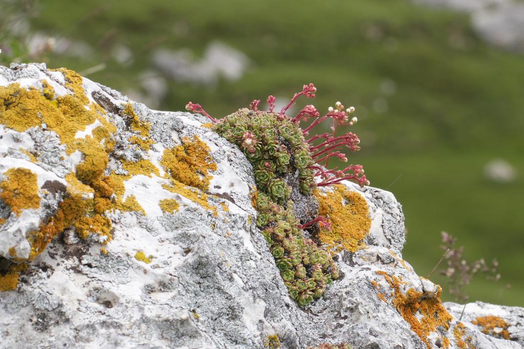 Saxifraga paniculata hugs the rocks