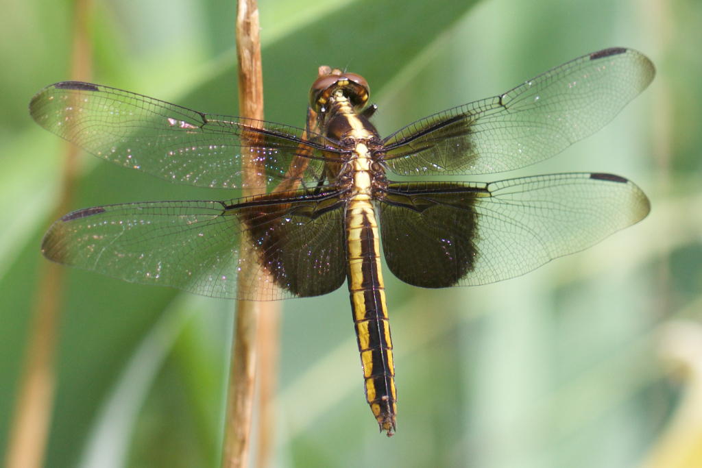 Widow Skimmer (Libellula luctuosa)