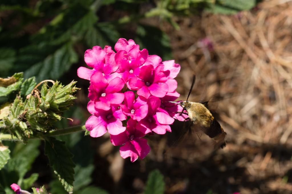 Clearwing Moth on Verbena