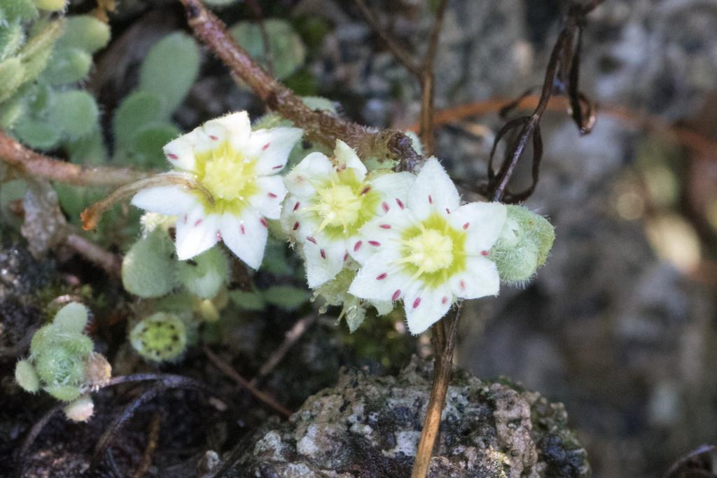 Rosularia sedoides