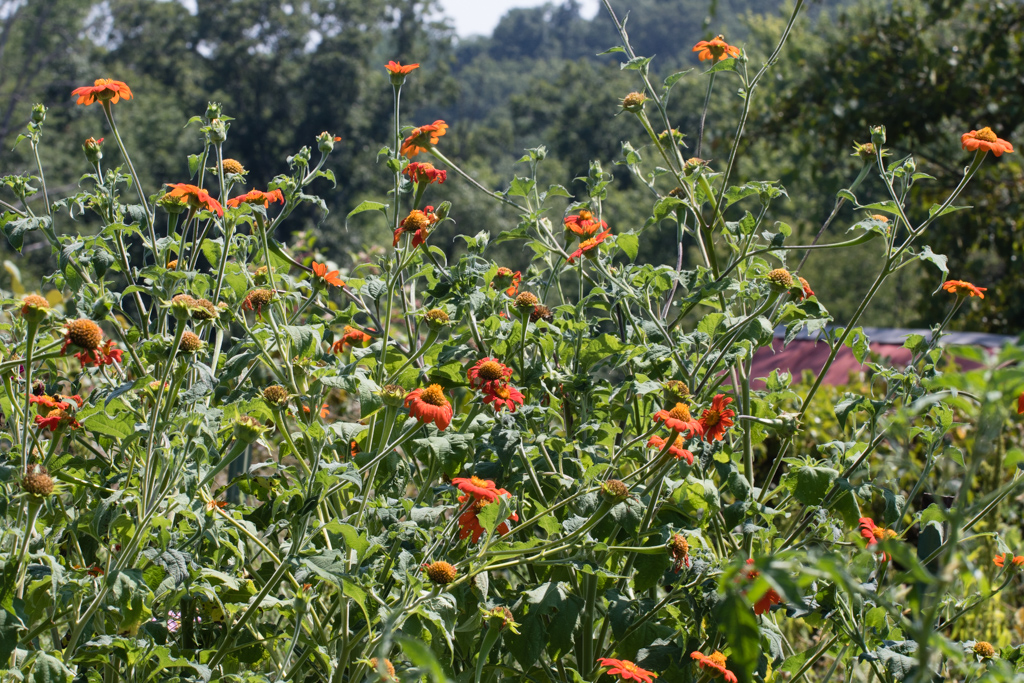 Tithonia dominating annuals