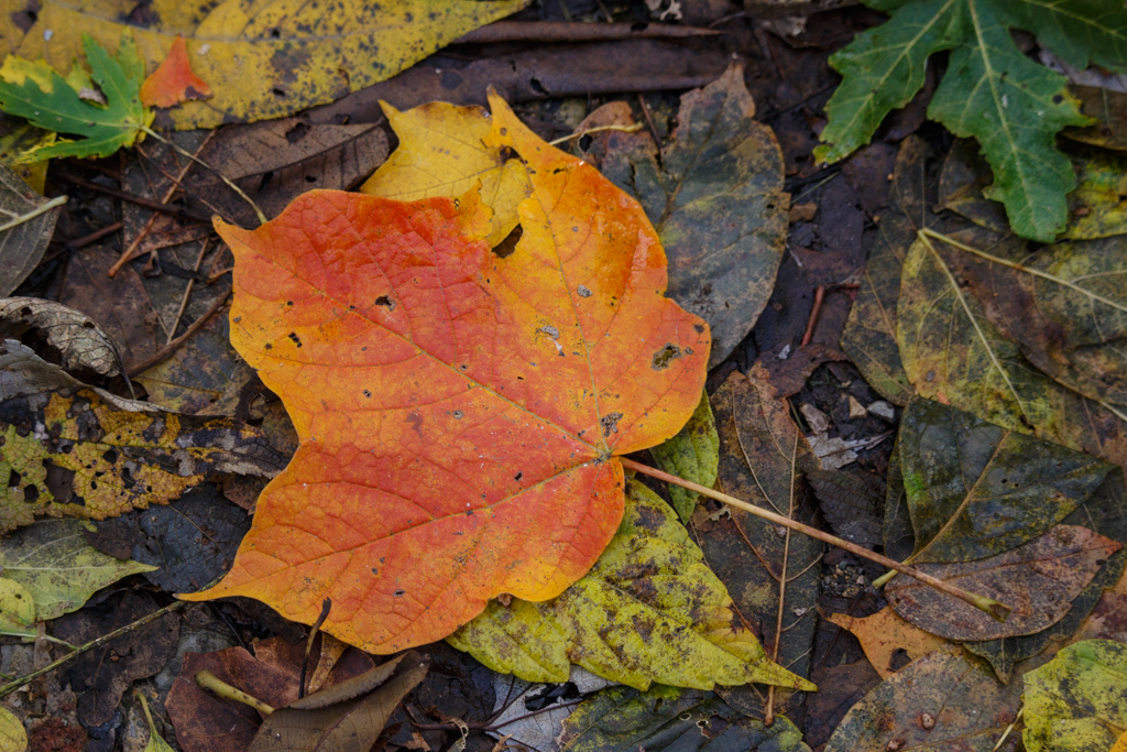 Black Maple leaf (note the typical 3 lobes)