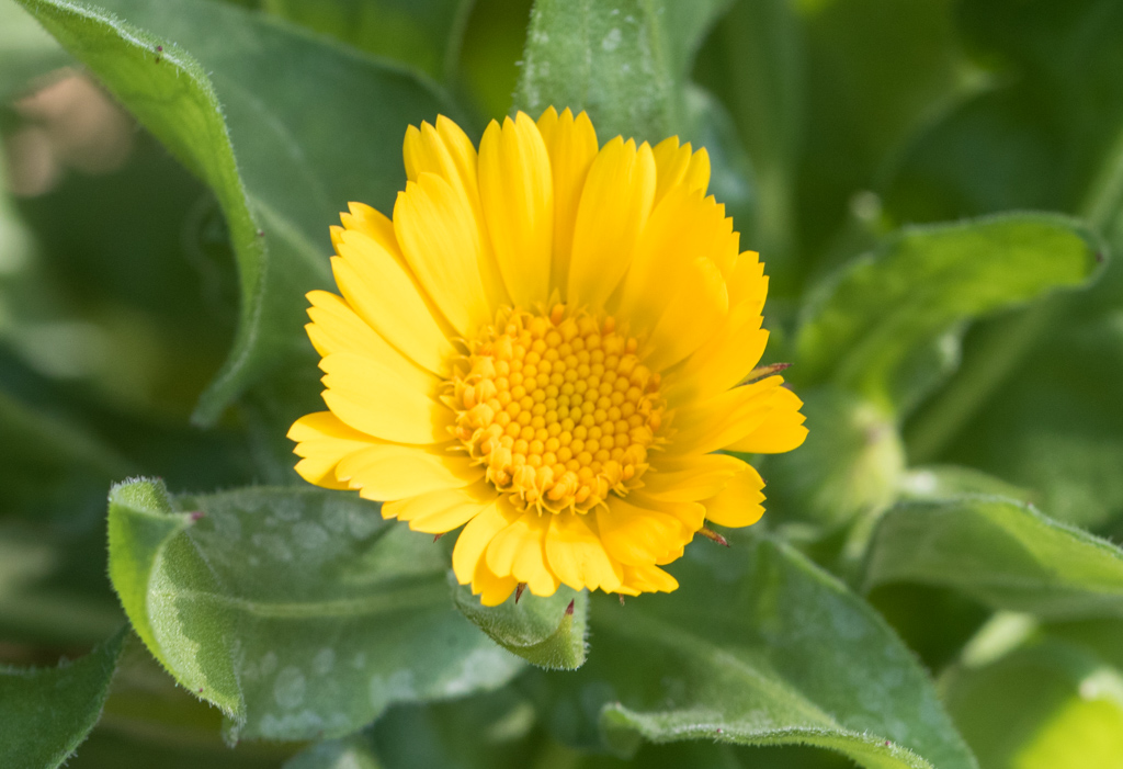 Yellow Calendula