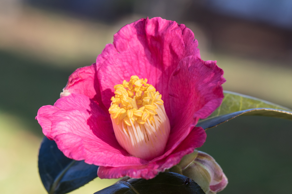 Camellia japonica 'Spring's Promise'