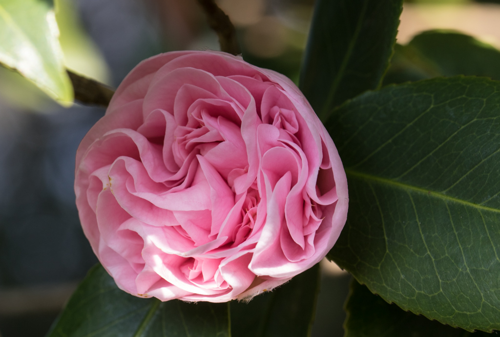 Camellia japonica double flowered pink