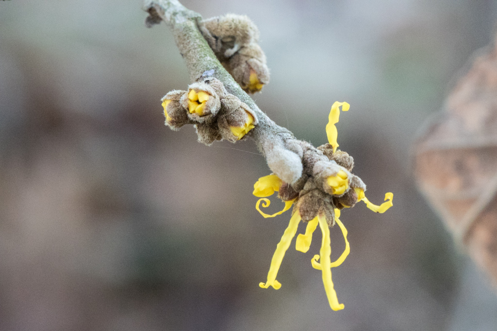 Chinese Witch Hazel (Hamamelis mollis)