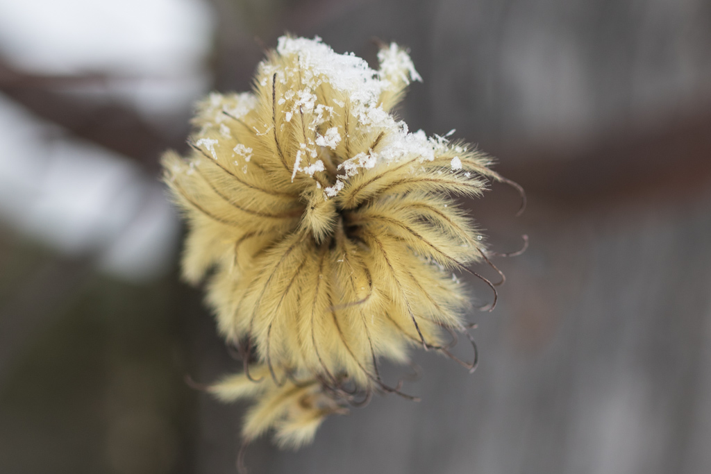Clematis 'Waterfall' seedhead