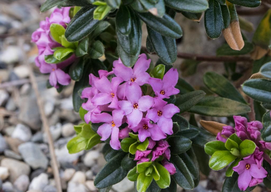 Daphne collina x cneorum
