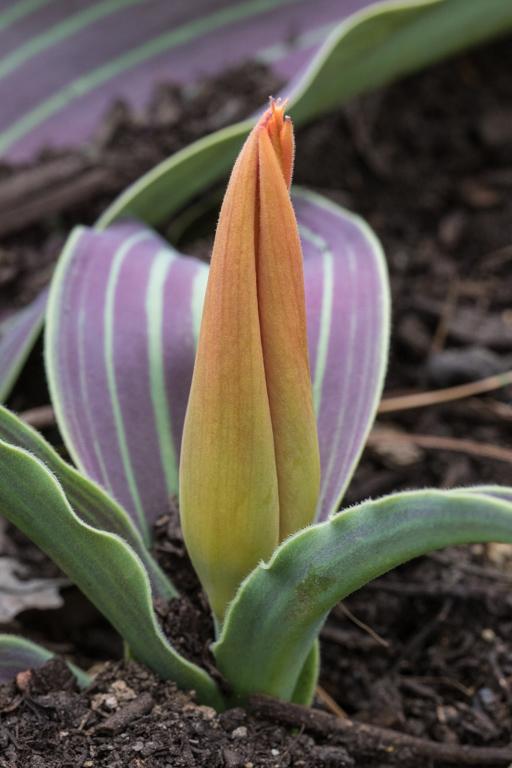 Tulipa 'Goldmine'