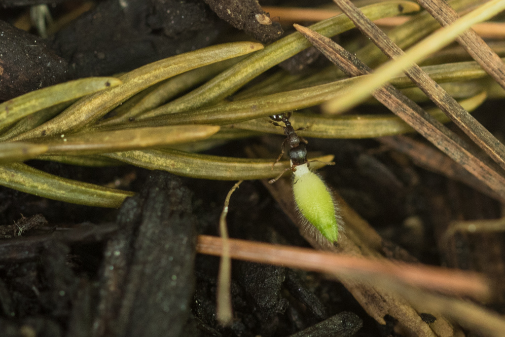 Ant carrying Hepatica seed