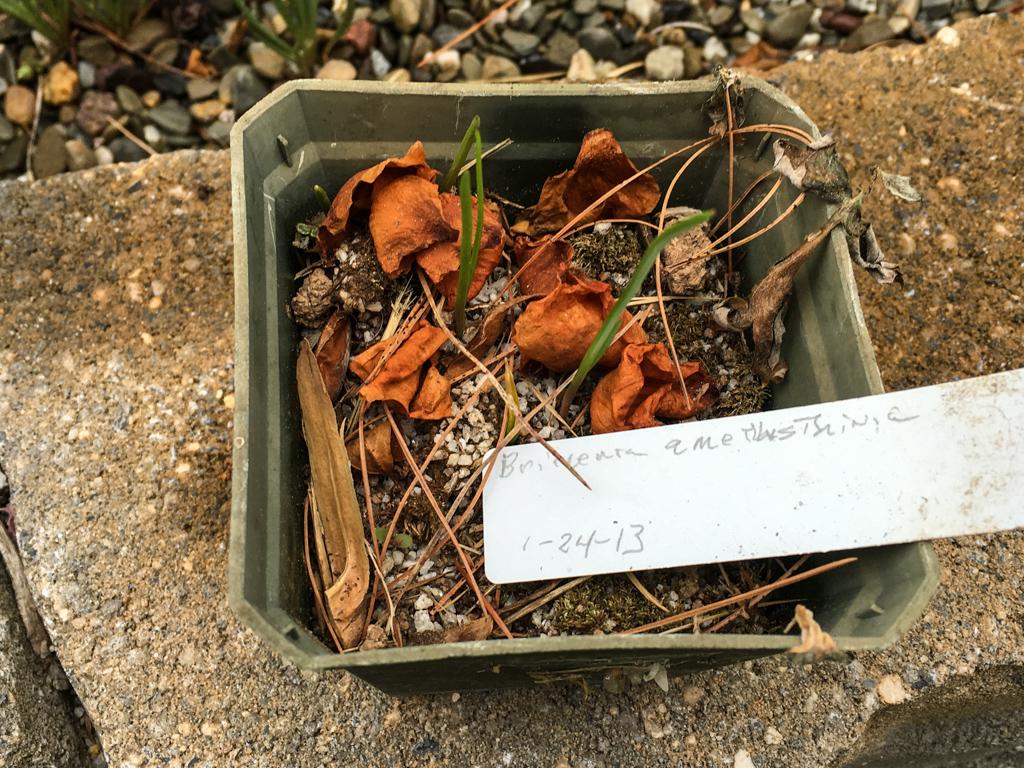 Brimeura amethystina seedling