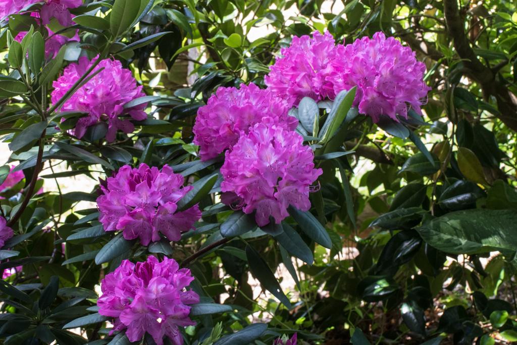 Camellia Garden Rhododendron