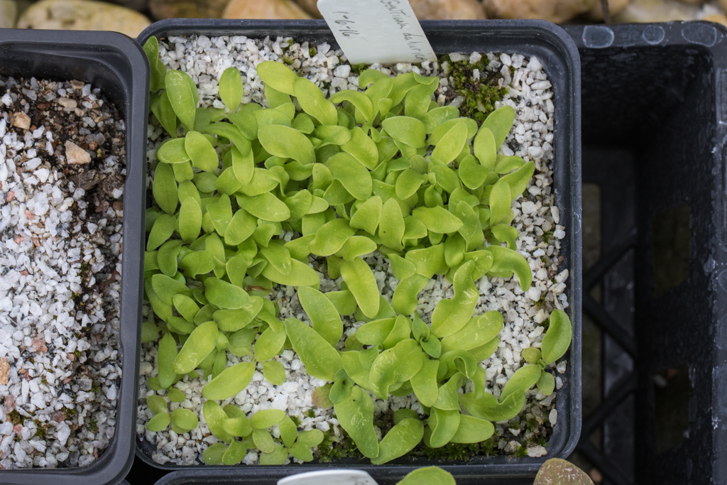 Gentiana dahurica seedlings