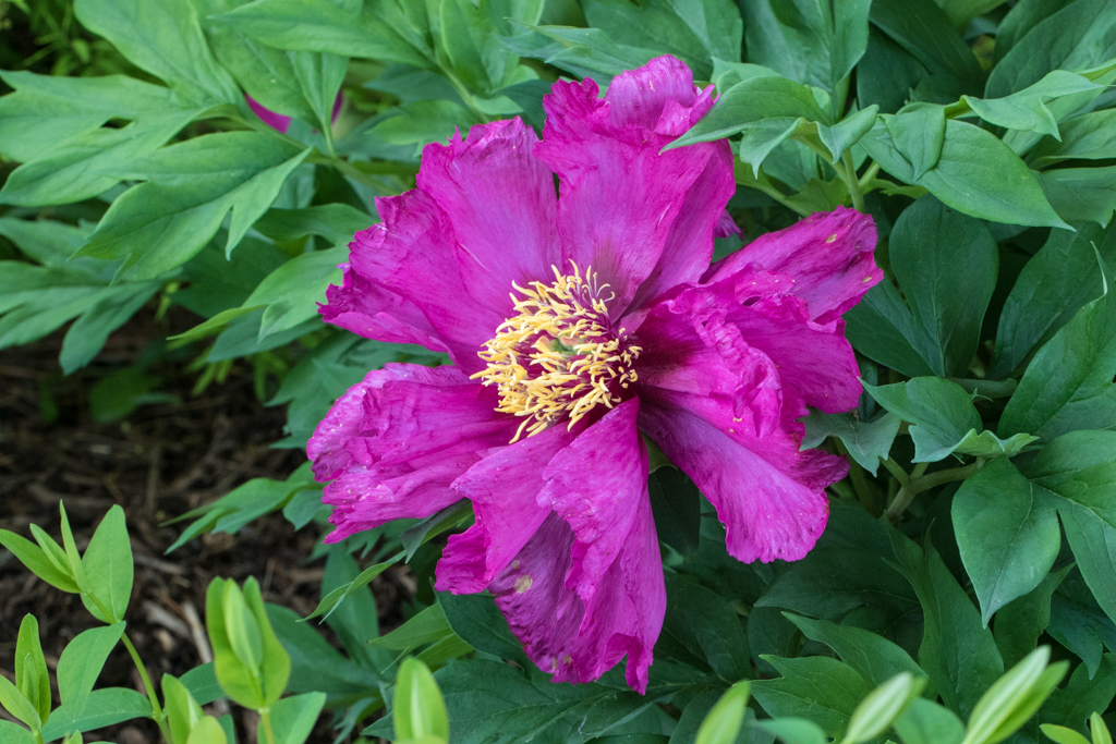 Itoh Peony 'Morning Lilac'