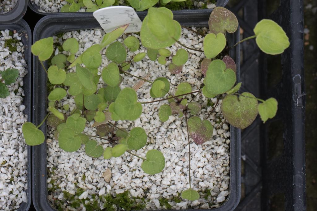 Phyteuma scheuchzeri seedlings