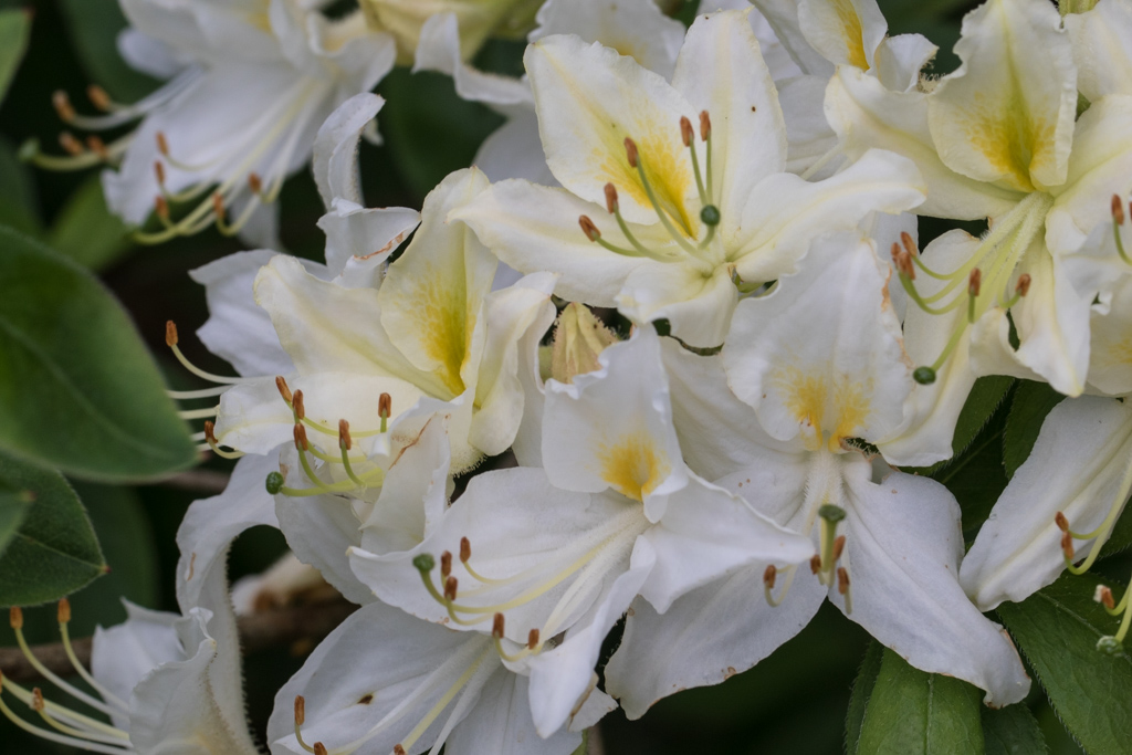 Rhododendron 'Viscosepala'
