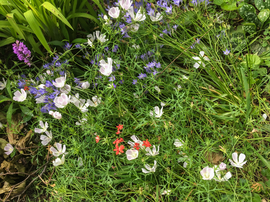 Mix of wine cups, spotted orchid, Brodiaea 'Queen Fabiola', and Gladiolus elata.