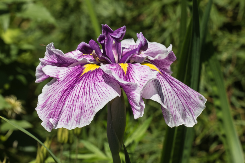 Iris ensata 'Flashing Koi'