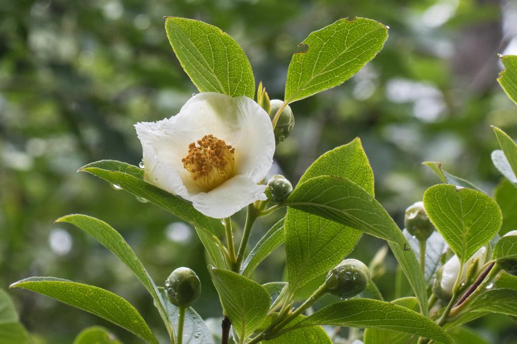 Stewartia japonica