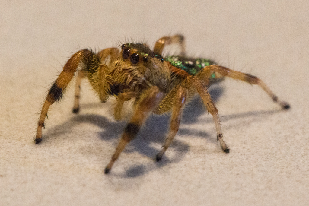 Jumping spider from the greenhouse