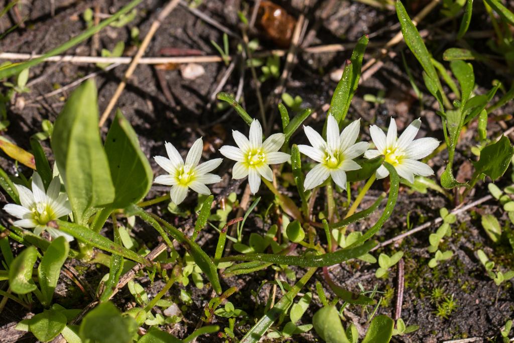 Lewisia pygmaea (White form?)