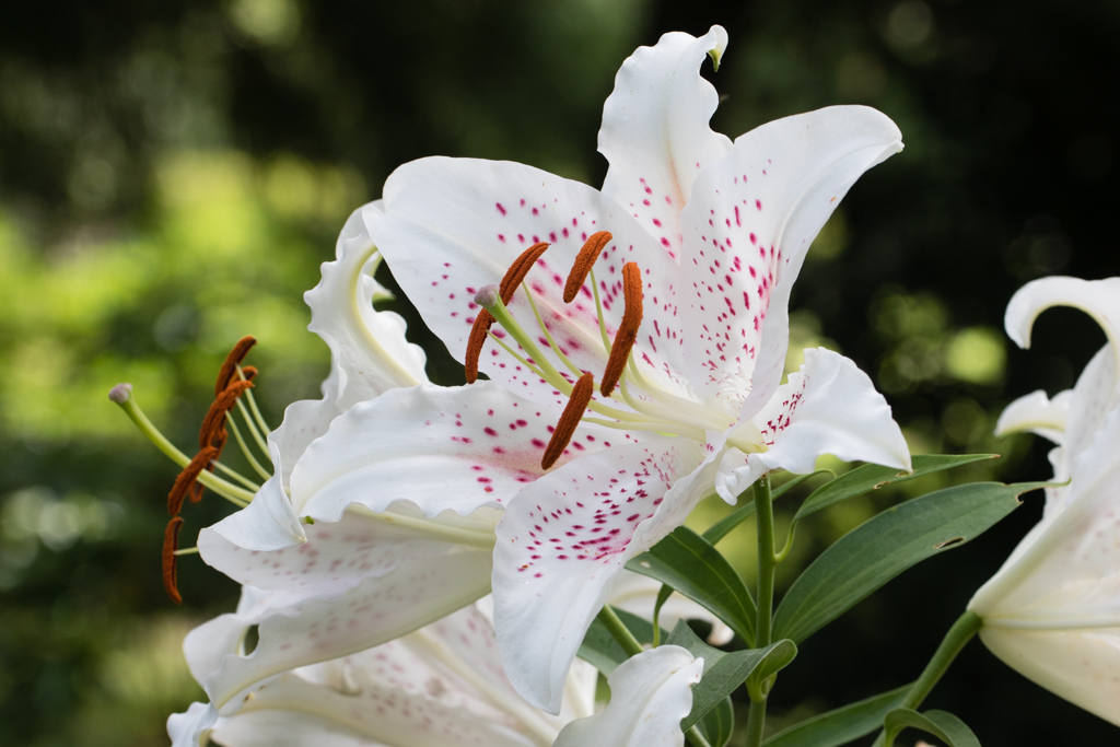 Oriental Lily 'Muscadet'