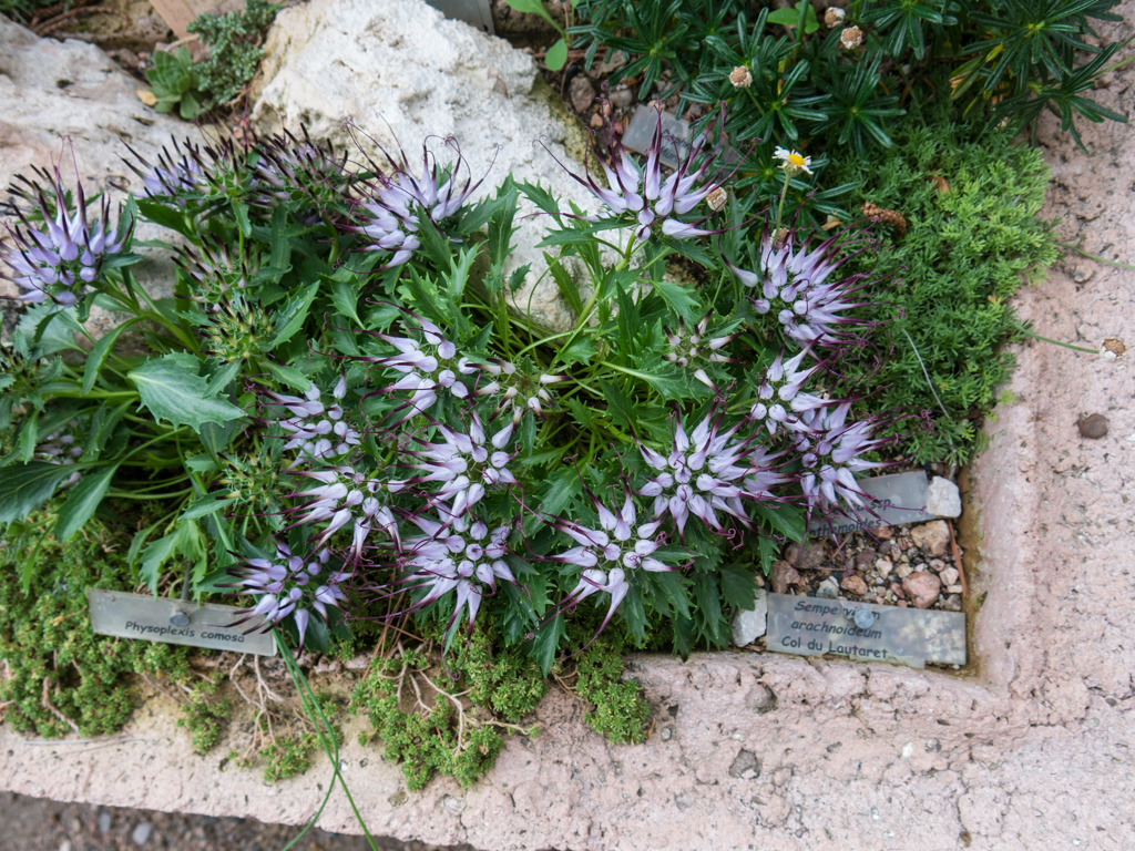 Physoplexis comosa in a trough at DBG