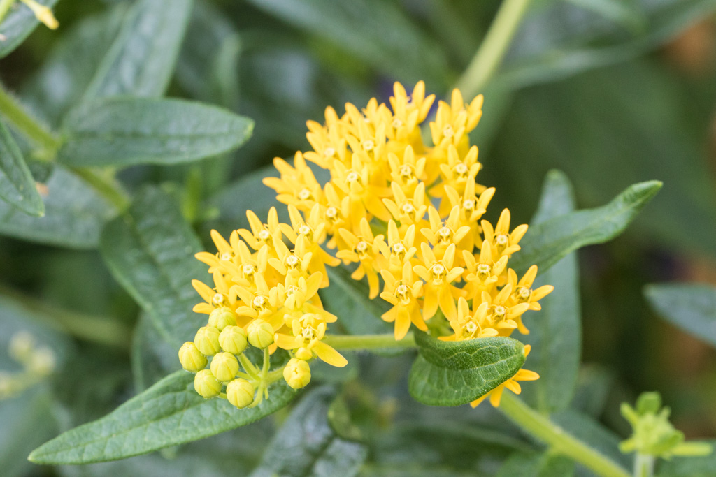 Asclepias 'Hello Yellow'