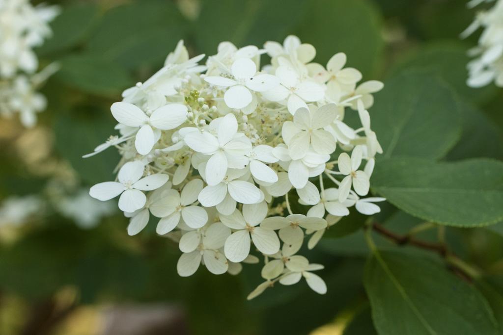 Hydrangea 'Limelight'