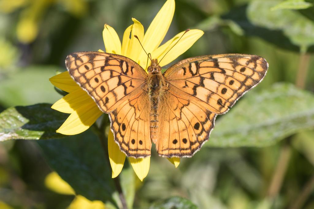 butterfly on Lemon Queen