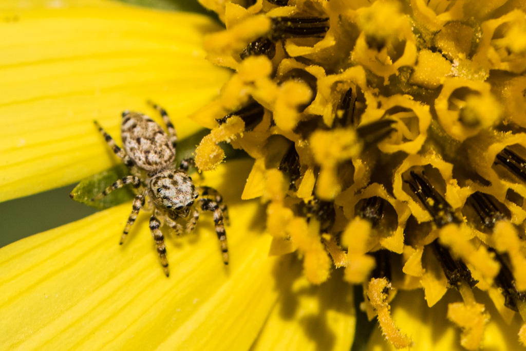 Spider on Lemon Queen