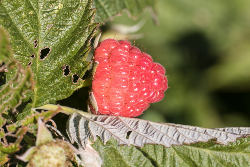 raspberries ready for harvest again