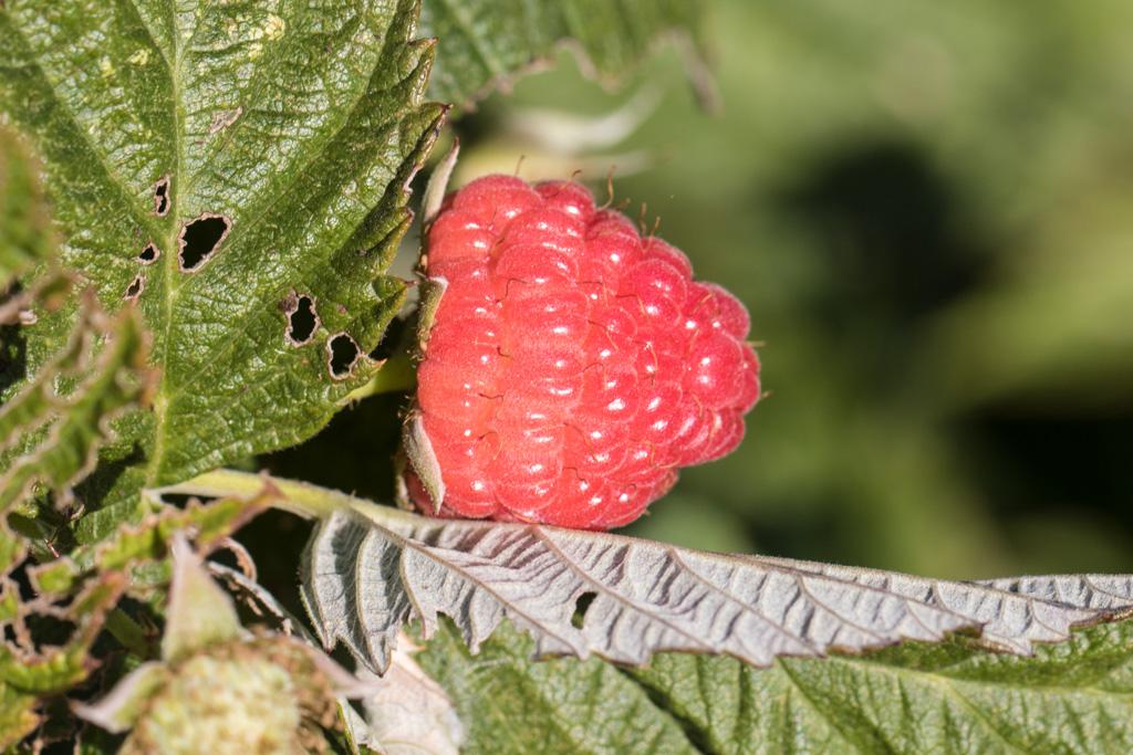 raspberries ready for harvest again