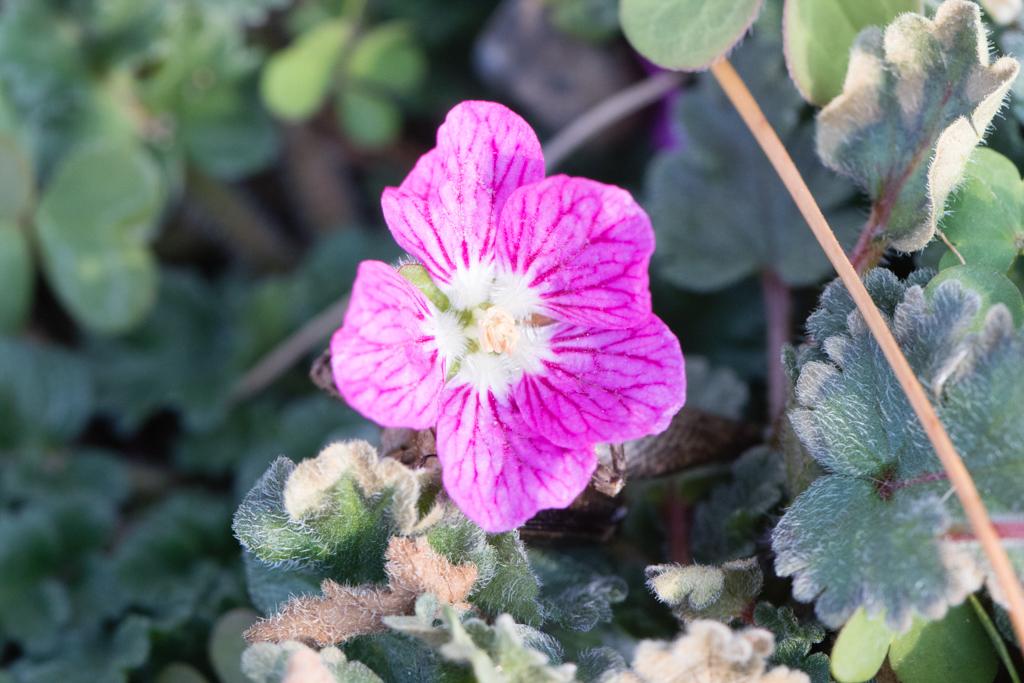 Alpine Geranium (Erodium  reichardii 'Roseum')
