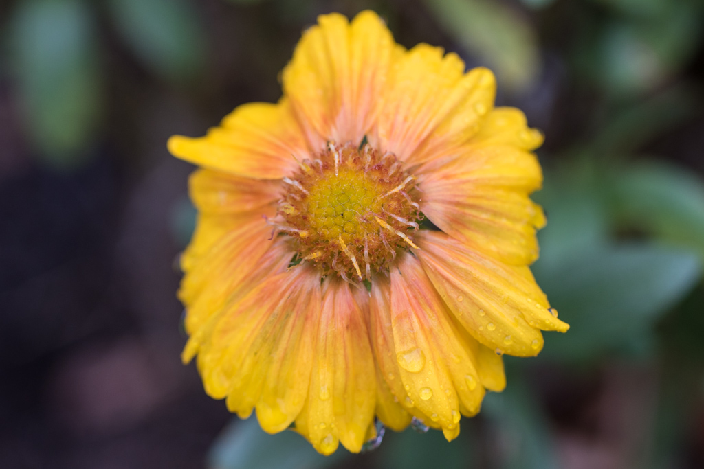 Gaillardia in Tears