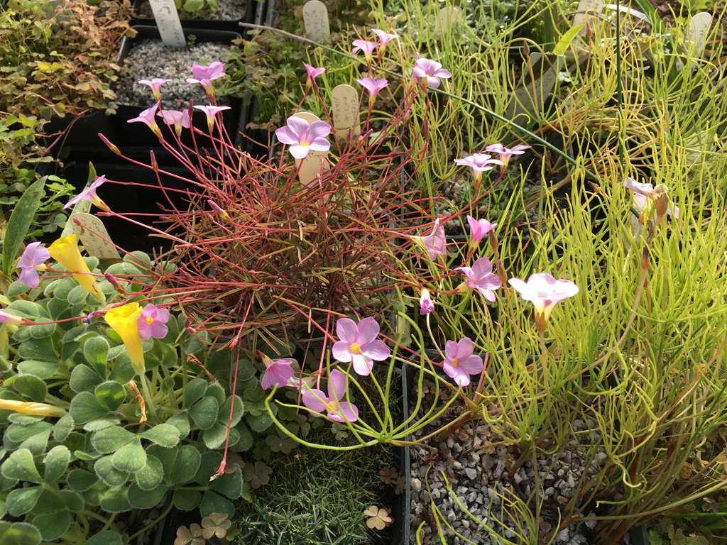 Oxalis bench with O. pardalis and O. luteum glauca