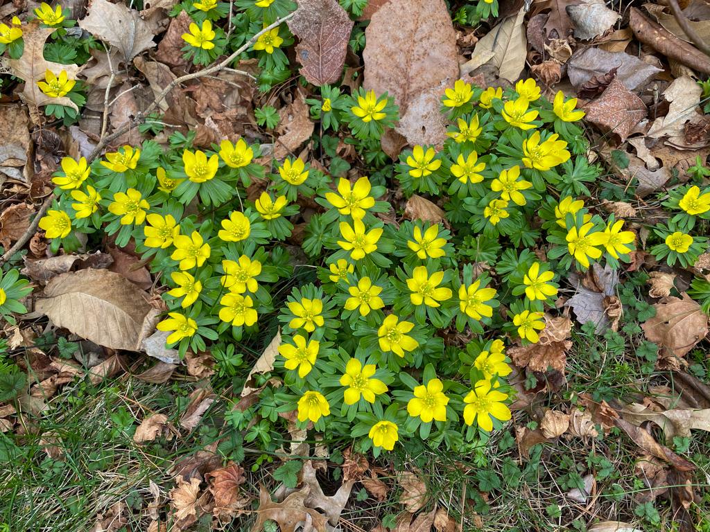 20 seeds Freesia viridis 1 PACK OF SEEDS