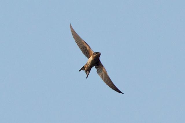 barn-swallow-in-flight