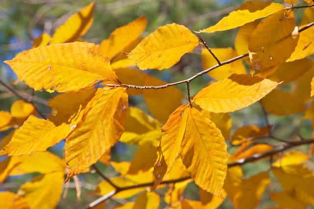 beech-leaves-1