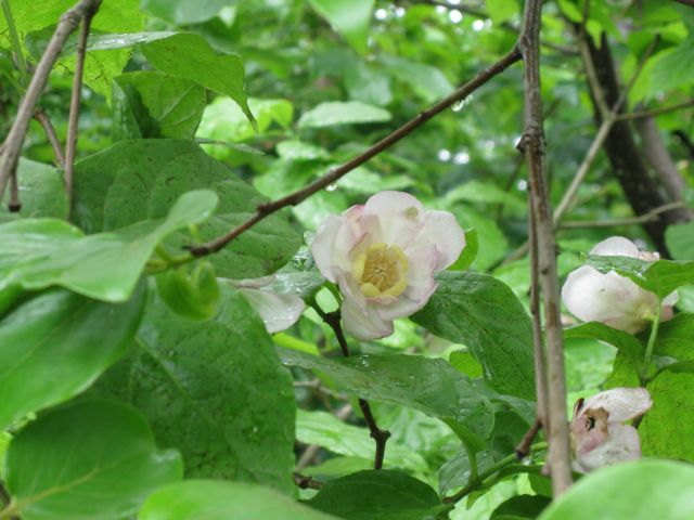 chinese-allspice-sinocalycanthus-chinensis