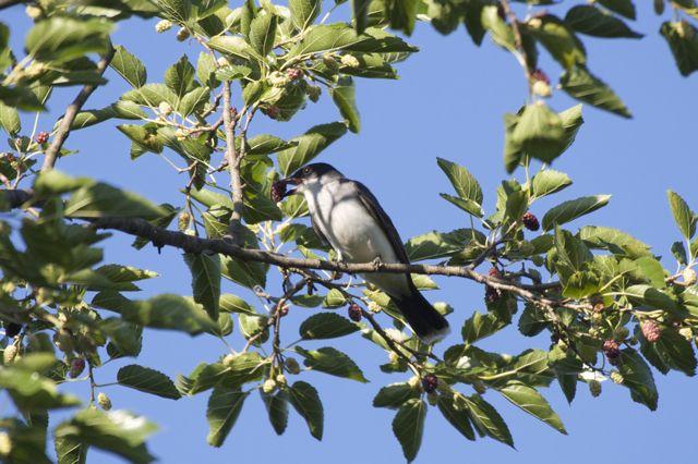 eastern-kingbird-mulberry_0